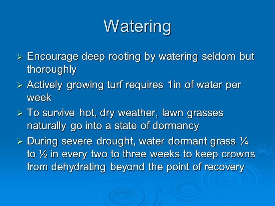 Watering  Encourage deep rooting by watering seldom but thoroughly  Actively growing turf requires 1in of water per week  To survive hot, dry weather, lawn grasses naturally go into a state of dormancy  During severe drought, water dormant grass ¼ to ½ in every two to three weeks to keep crowns from dehydrating beyond the point of recovery