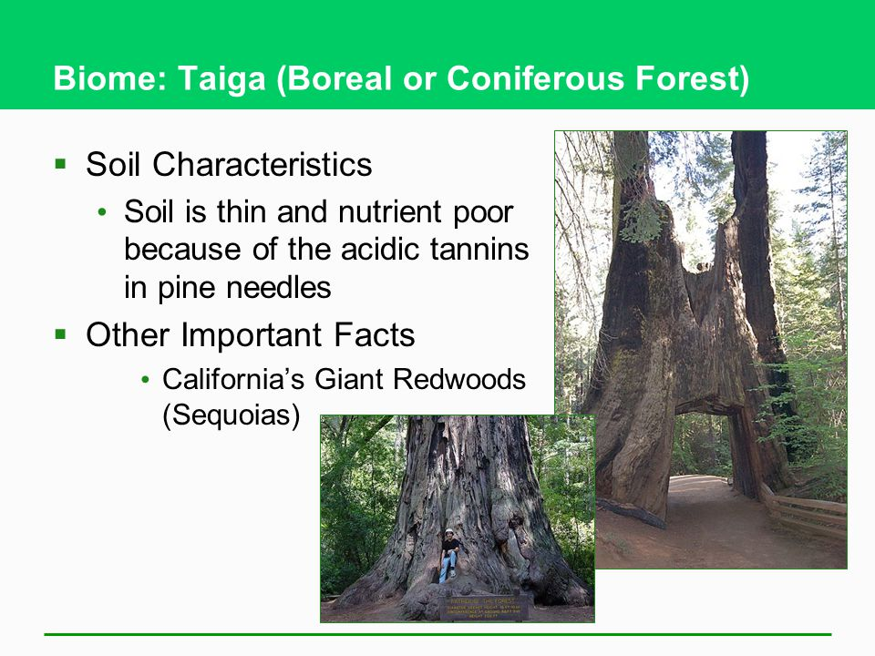 Biome: Taiga (Boreal or Coniferous Forest)  Soil Characteristics Soil is thin and nutrient poor because of the acidic tannins in pine needles  Other