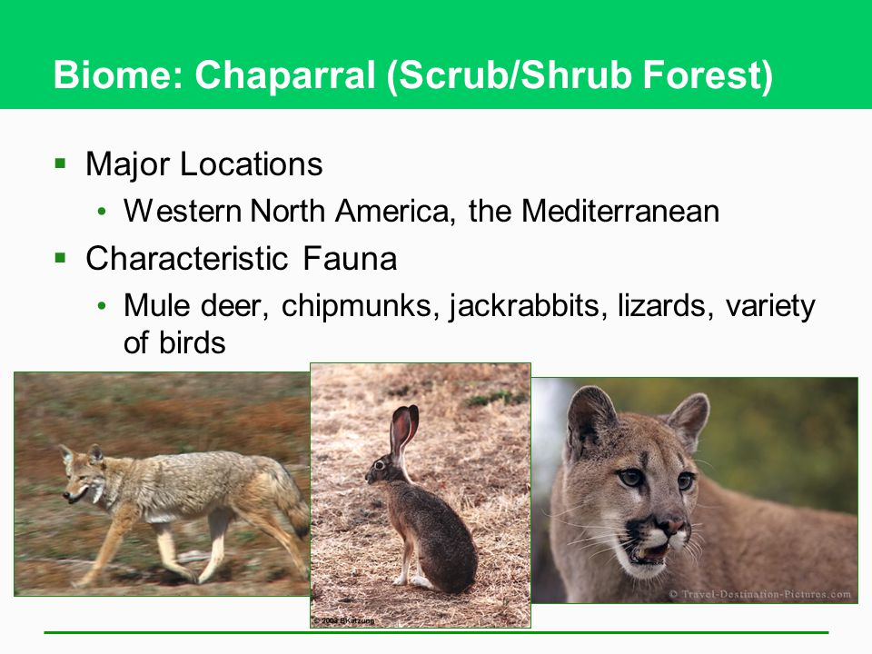 Biome: Chaparral (Scrub/Shrub Forest)  Major Locations Western North America, the Mediterranean  Characteristic Fauna Mule deer, chipmunks, jackrabbits, lizards, variety of birds