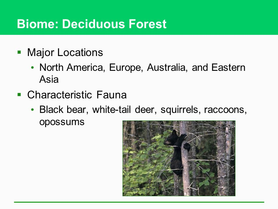 Biome: Deciduous Forest  Major Locations North America, Europe, Australia, and Eastern Asia  Characteristic Fauna Black bear, white-tail deer, squirrels, raccoons, opossums
