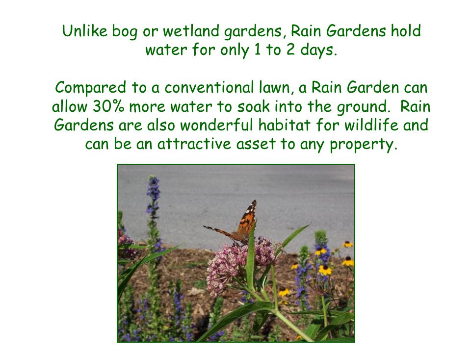 Unlike bog or wetland gardens, Rain Gardens hold water for only 1 to 2 days.
