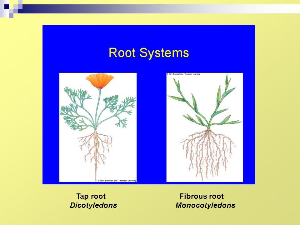 Tap root Dicotyledons Fibrous root Monocotyledons