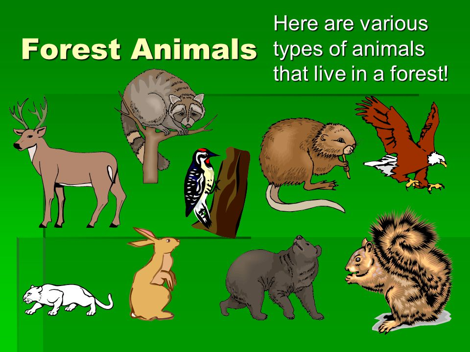 Forest Animals Here are various types of animals that live in a forest!