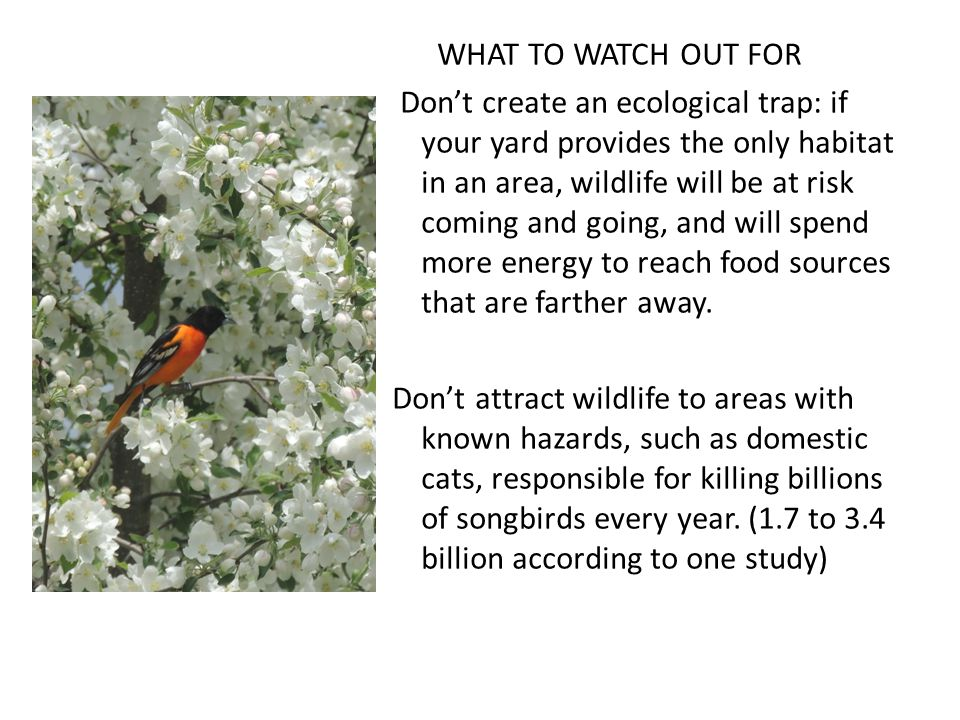 WHAT TO WATCH OUT FOR Don't create an ecological trap: if your yard provides the only habitat in an area, wildlife will be at risk coming and going, and will spend more energy to reach food sources that are farther away.