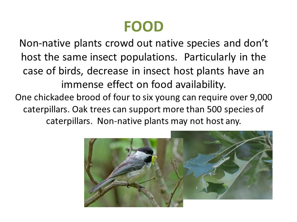 FOOD Non-native plants crowd out native species and don't host the same insect populations. Particularly in the case of birds, decrease in insect host