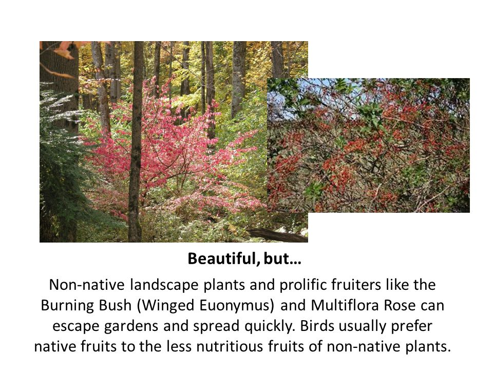 Beautiful, but… Non-native landscape plants and prolific fruiters like the Burning Bush (Winged Euonymus) and Multiflora Rose can escape gardens and s