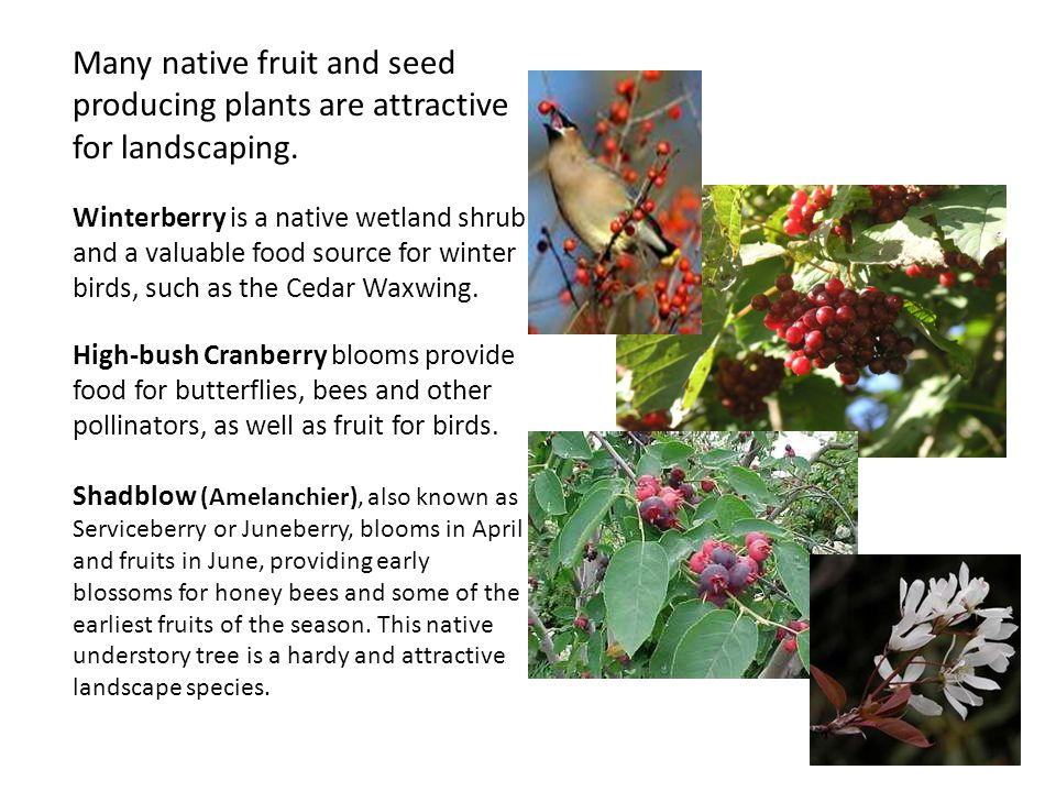 Many native fruit and seed producing plants are attractive for landscaping.