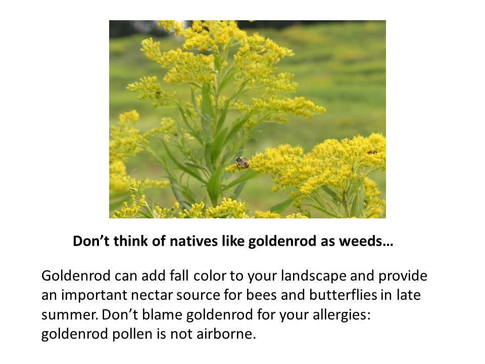 Don't think of natives like goldenrod as weeds… Goldenrod can add fall color to your landscape and provide an important nectar source for bees and butterflies in late summer.