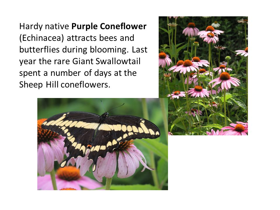 Hardy native Purple Coneflower (Echinacea) attracts bees and butterflies during blooming.