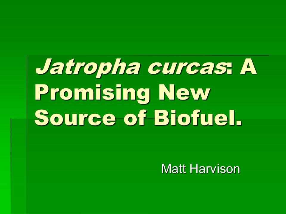 Jatropha curcas: A Promising New Source of Biofuel. Matt Harvison