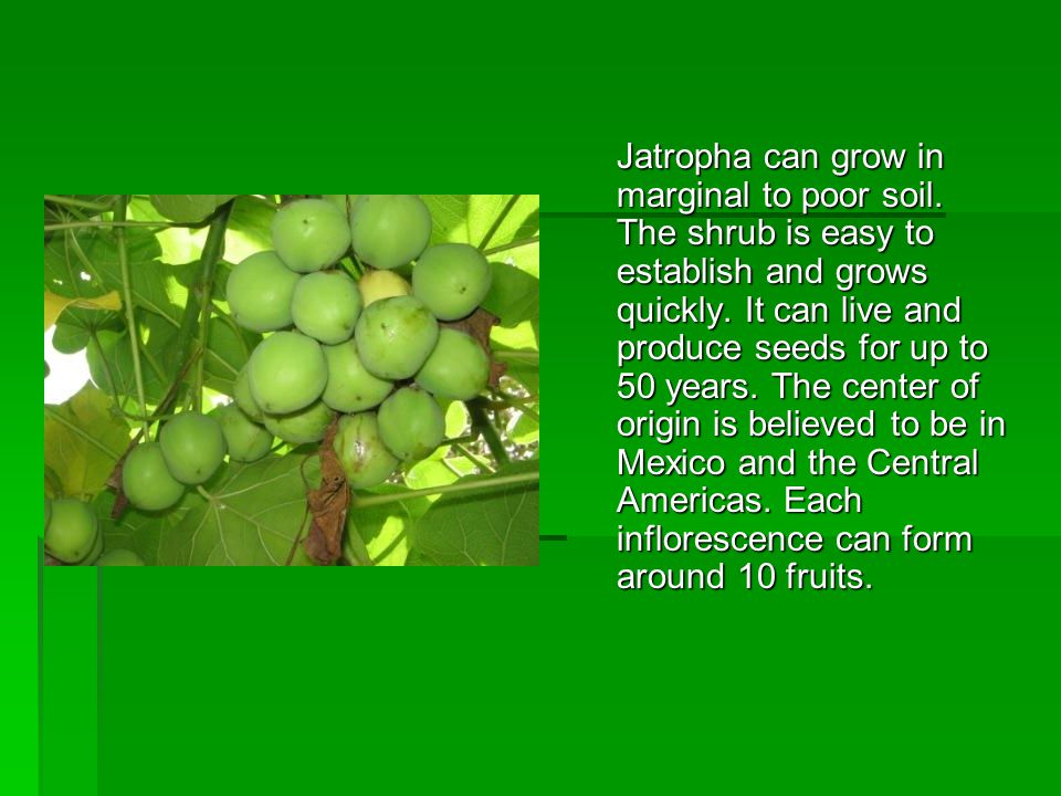Jatropha can grow in marginal to poor soil. The shrub is easy to establish and grows quickly. It can live and produce seeds for up to 50 years. The ce
