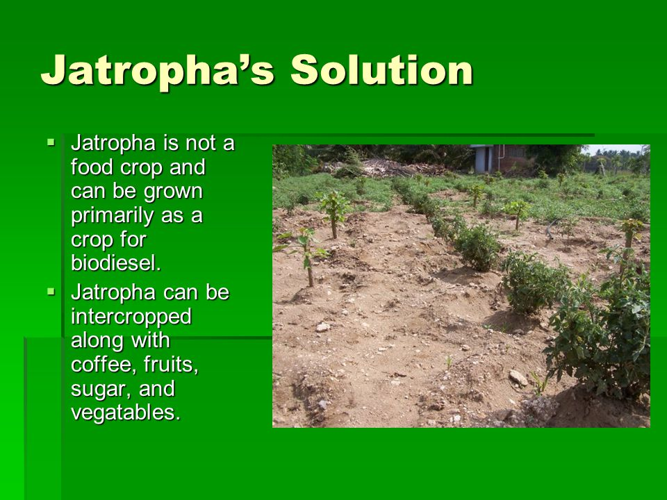 Jatropha's Solution  Jatropha is not a food crop and can be grown primarily as a crop for biodiesel.  Jatropha can be intercropped along with coffee
