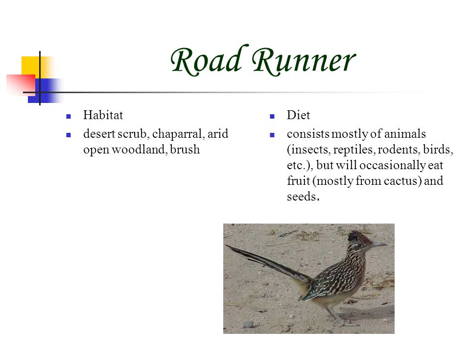 Road Runner Habitat desert scrub, chaparral, arid open woodland, brush Diet consists mostly of animals (insects, reptiles, rodents, birds, etc.), but will occasionally eat fruit (mostly from cactus) and seeds.