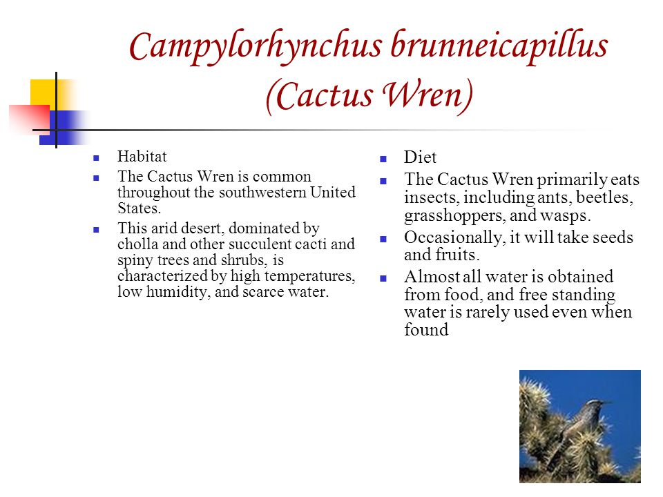Campylorhynchus brunneicapillus (Cactus Wren) Habitat The Cactus Wren is common throughout the southwestern United States.
