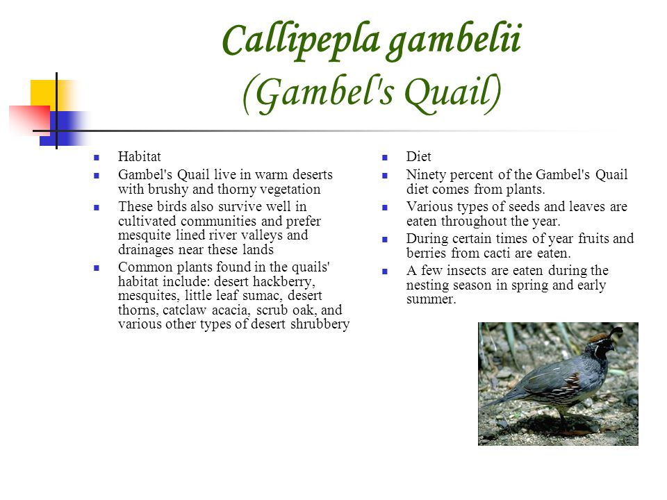 Callipepla gambelii (Gambel s Quail) Habitat Gambel s Quail live in warm deserts with brushy and thorny vegetation These birds also survive well in cultivated communities and prefer mesquite lined river valleys and drainages near these lands Common plants found in the quails habitat include: desert hackberry, mesquites, little leaf sumac, desert thorns, catclaw acacia, scrub oak, and various other types of desert shrubbery Diet Ninety percent of the Gambel s Quail diet comes from plants.