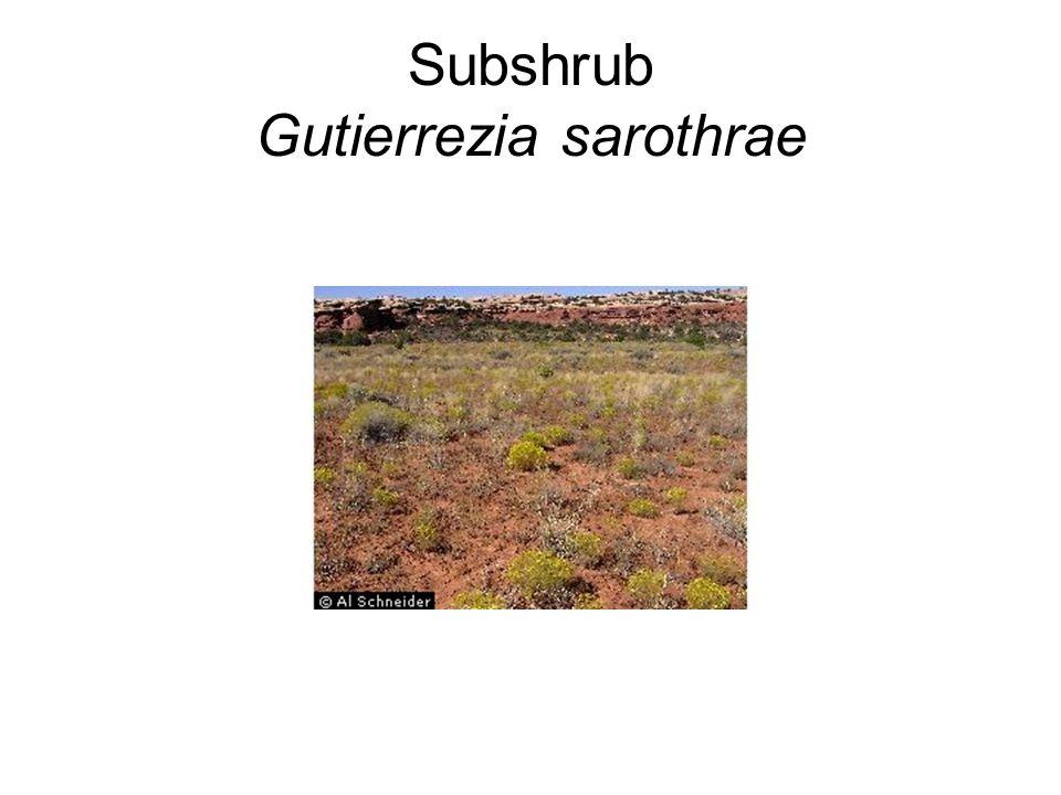 Subshrub Gutierrezia sarothrae