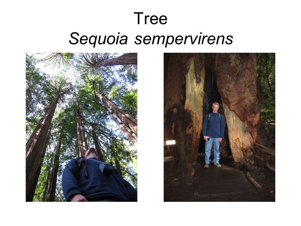 Tree Sequoia sempervirens
