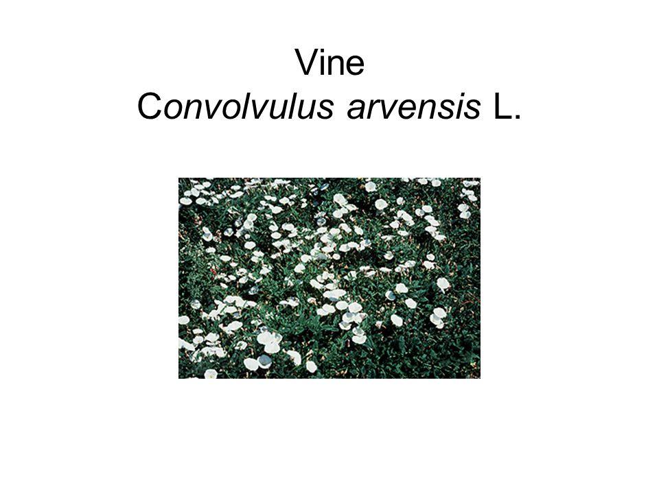 Vine Convolvulus arvensis L.
