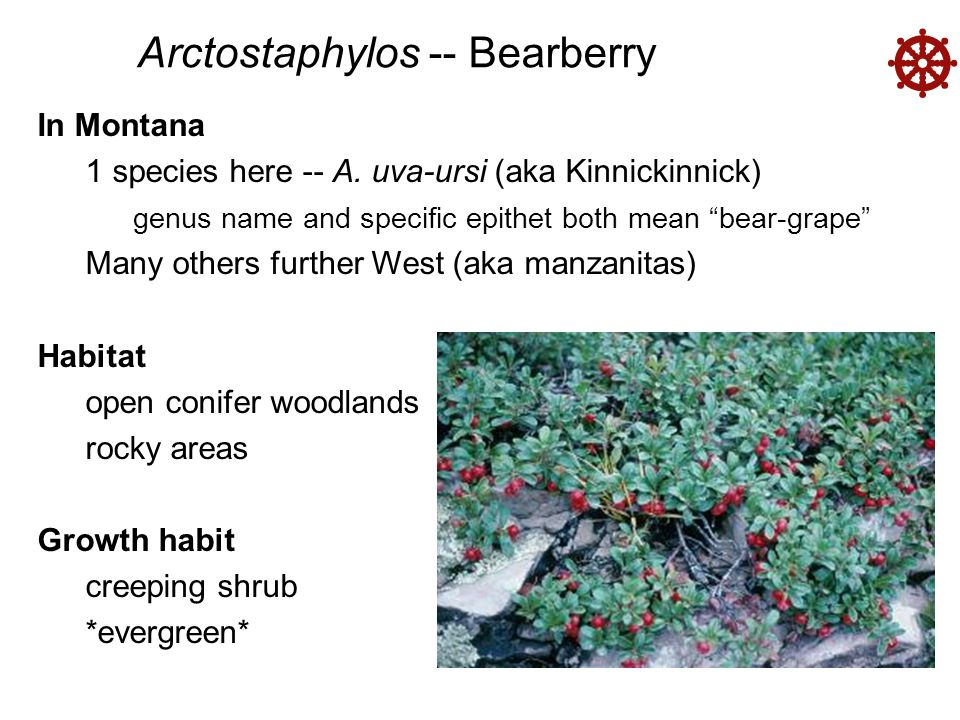 Arctostaphylos -- Bearberry  Flowers connate calyx urceolate corolla ovary superior Fruit = berry (drupe-like) red fruit (mealy, not juicy) seeds large relative to berry