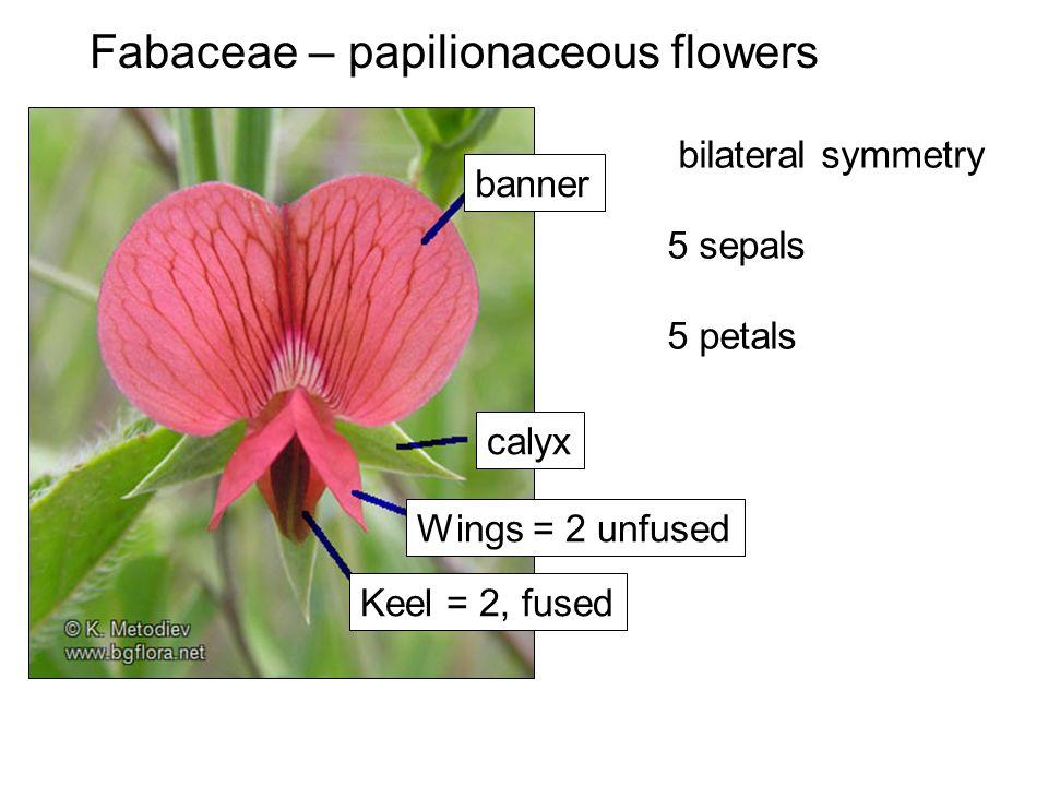 banner Wings = 2 unfused Keel = 2, fused calyx bilateral symmetry 5 sepals 5 petals Fabaceae – papilionaceous flowers