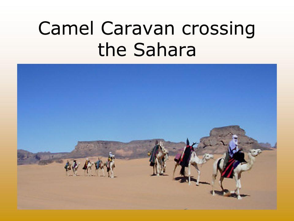 Camel Caravan crossing the Sahara