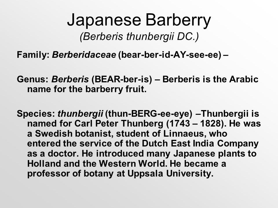 Japanese Barberry (Berberis thunbergii DC.) Family: Berberidaceae (bear-ber-id-AY-see-ee) – Genus: Berberis (BEAR-ber-is) – Berberis is the Arabic nam