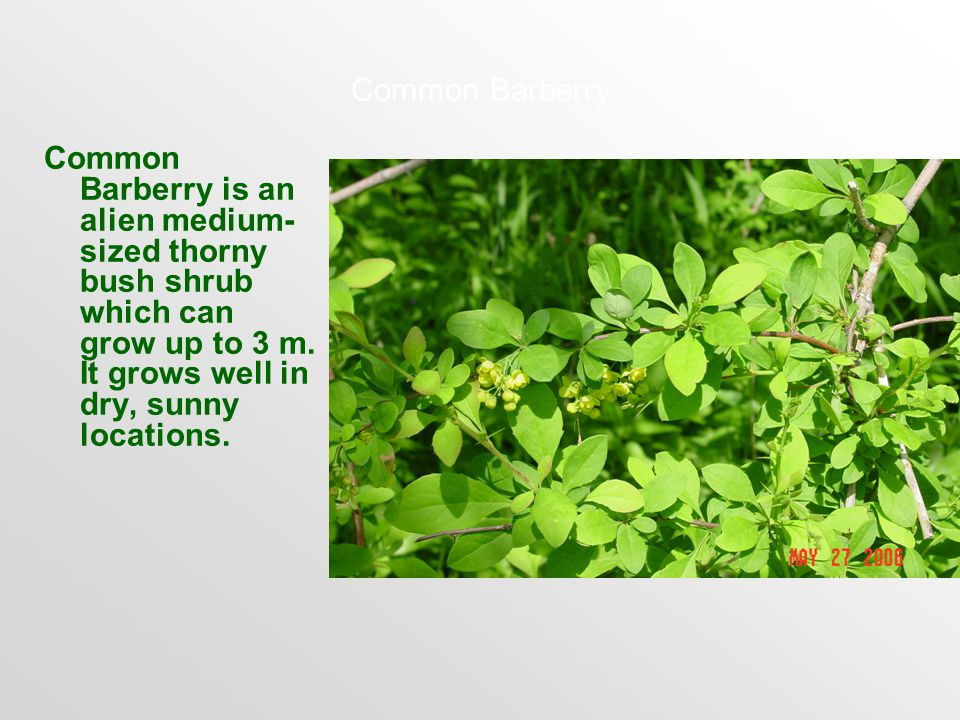 Common Barberry Common Barberry is an alien medium- sized thorny bush shrub which can grow up to 3 m.