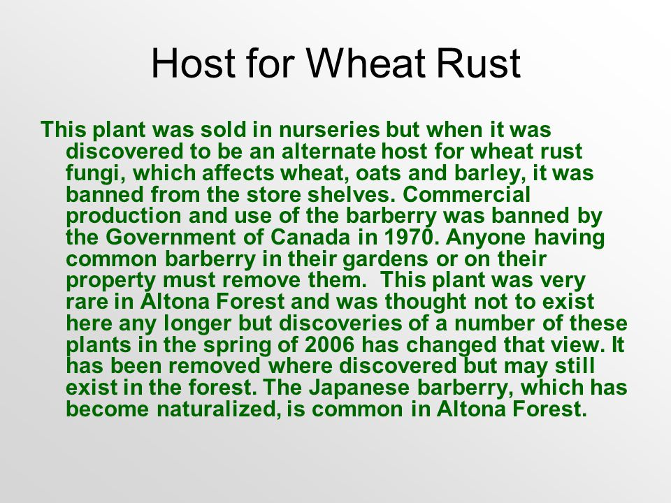 Host for Wheat Rust This plant was sold in nurseries but when it was discovered to be an alternate host for wheat rust fungi, which affects wheat, oats and barley, it was banned from the store shelves.