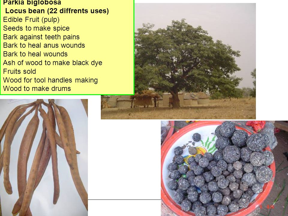 19 Parkia biglobosa Locus bean (22 diffrents uses) Edible Fruit (pulp) Seeds to make spice Bark against teeth pains Bark to heal anus wounds Bark to heal wounds Ash of wood to make black dye Fruits sold Wood for tool handles making Wood to make drums