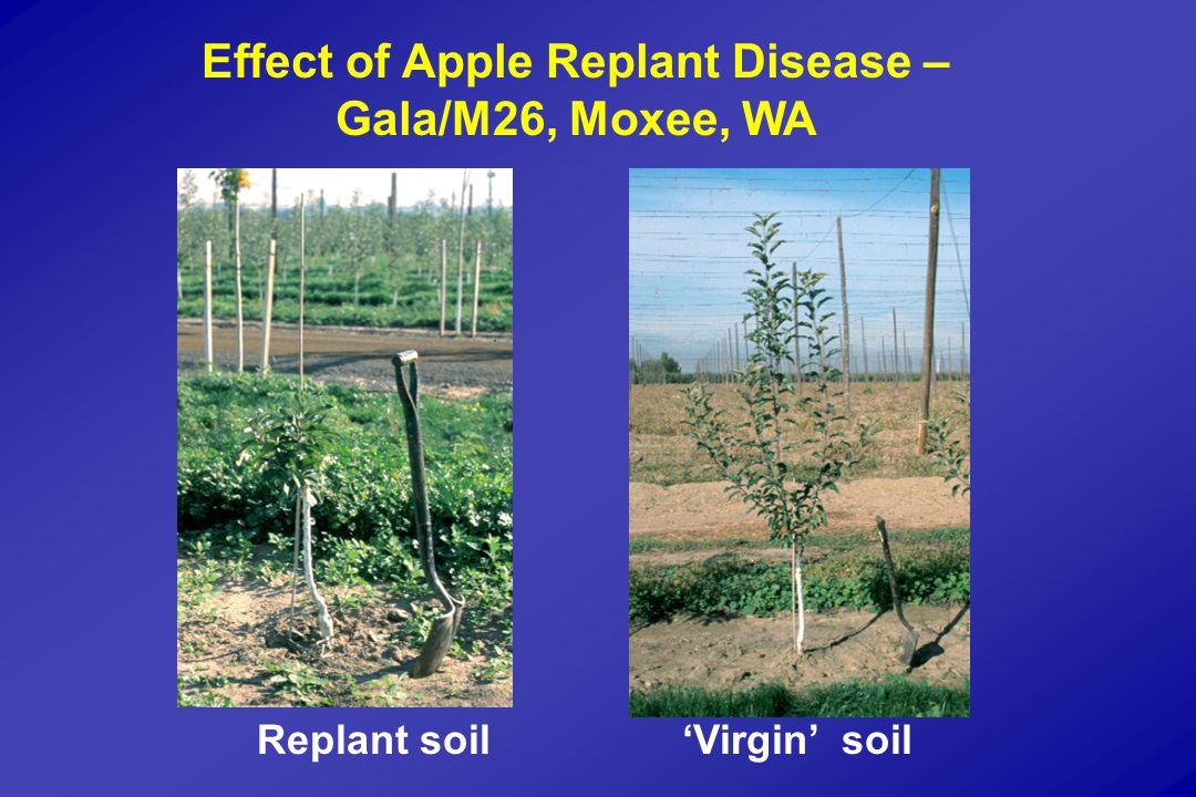 Effect of Apple Replant Disease – Gala/M26, Moxee, WA Replant soil'Virgin' soil