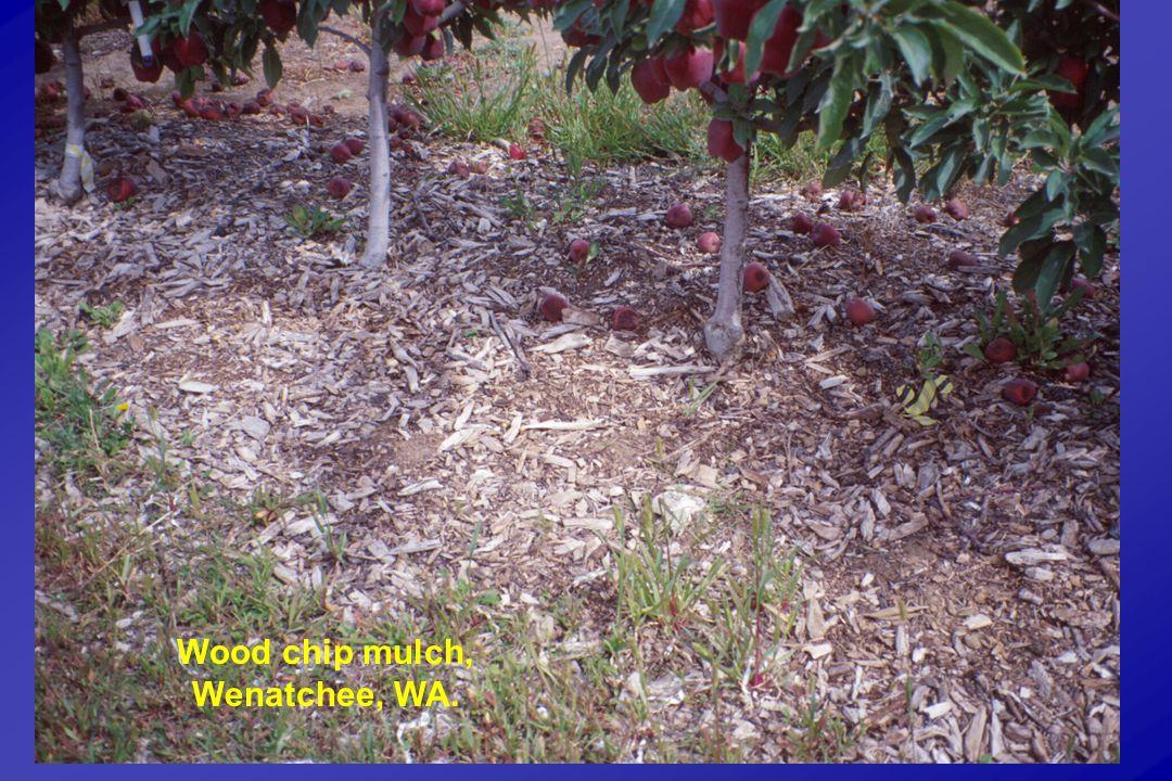 Wood chip mulch, Wenatchee, WA.