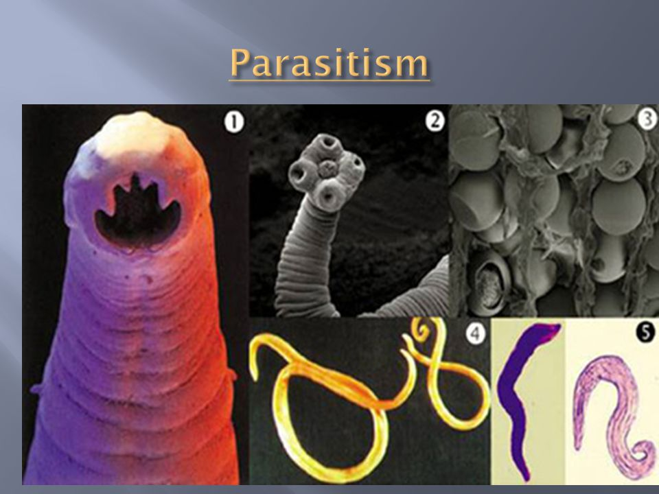  Parasitism: relationship in which one organism feeds on the tissues or body fluids on another.