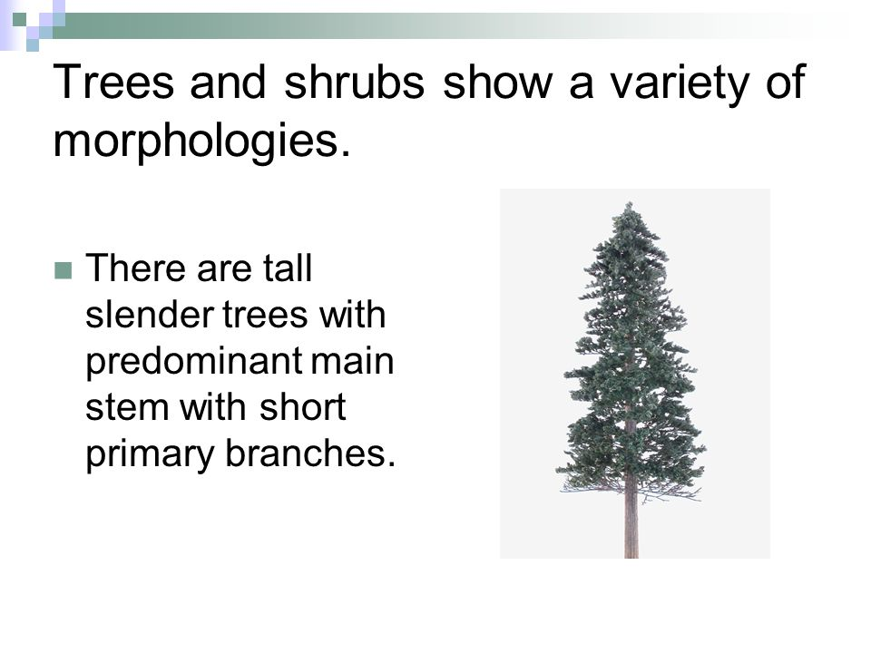 Trees and shrubs show a variety of morphologies. There are tall slender trees with predominant main stem with short primary branches.