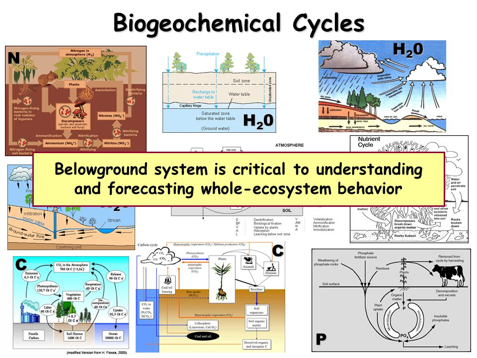 N H20H20H20H20 H20H20H20H20 H20H20H20H20C C N P Belowground system is critical to understanding and forecasting whole-ecosystem behavior