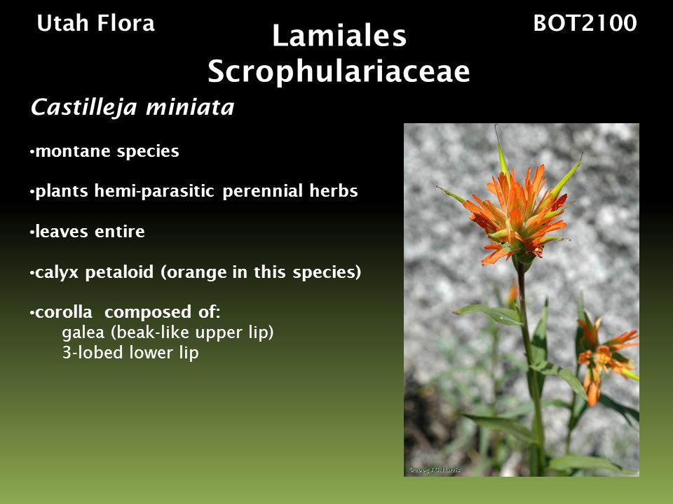 Utah Flora BOT2100 Castilleja miniata montane species plants hemi-parasitic perennial herbs leaves entire calyx petaloid (orange in this species) corolla composed of: galea (beak-like upper lip) 3-lobed lower lip Lamiales Scrophulariaceae
