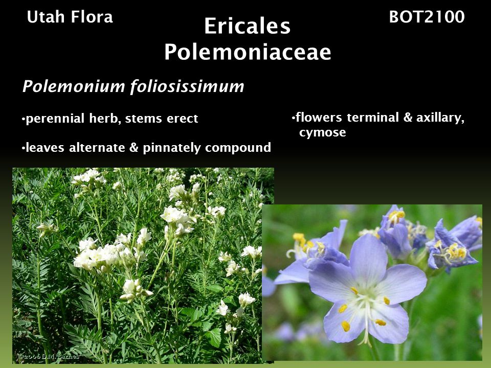 Utah Flora BOT2100 Polemonium foliosissimum perennial herb, stems erect leaves alternate & pinnately compound Ericales Polemoniaceae flowers terminal & axillary, cymose