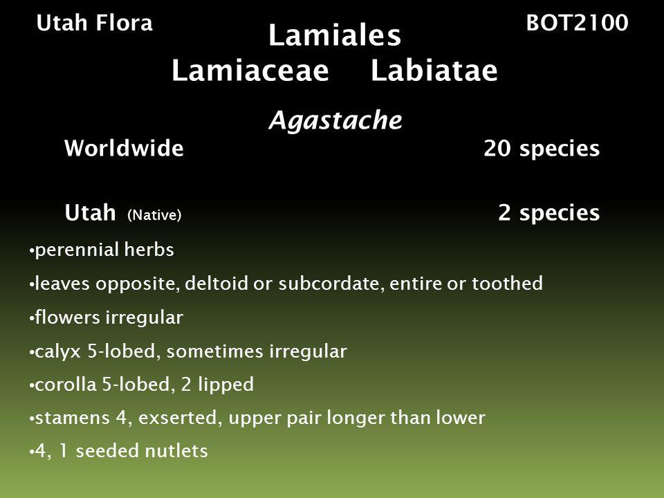 Utah Flora BOT2100 Major Families Brassicaceae – mustards Capparidaceae – bee-plants, capers Brassicales 17 families 398 genera 4,450 species