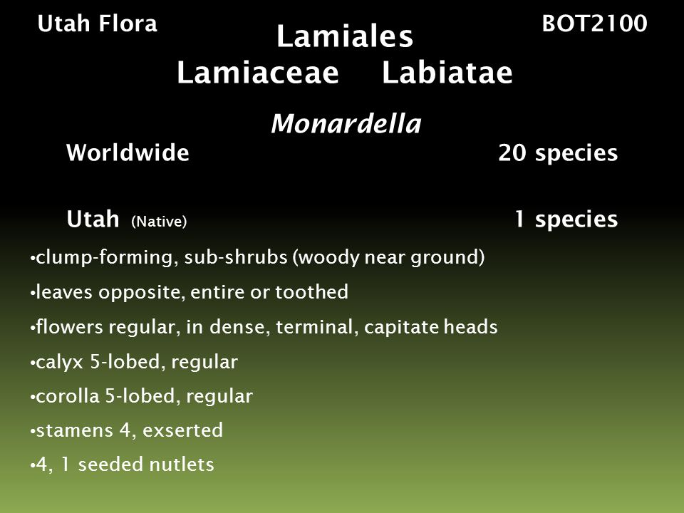 Utah Flora BOT2100 Monardella odoratissima sagebrush valley to montane species inflorescence of dense, terminal, capitate heads calyx 5-lobed, regular corolla 5-lobed, regular stamens 4, exserted Lamiales Lamiaceae Labiatae