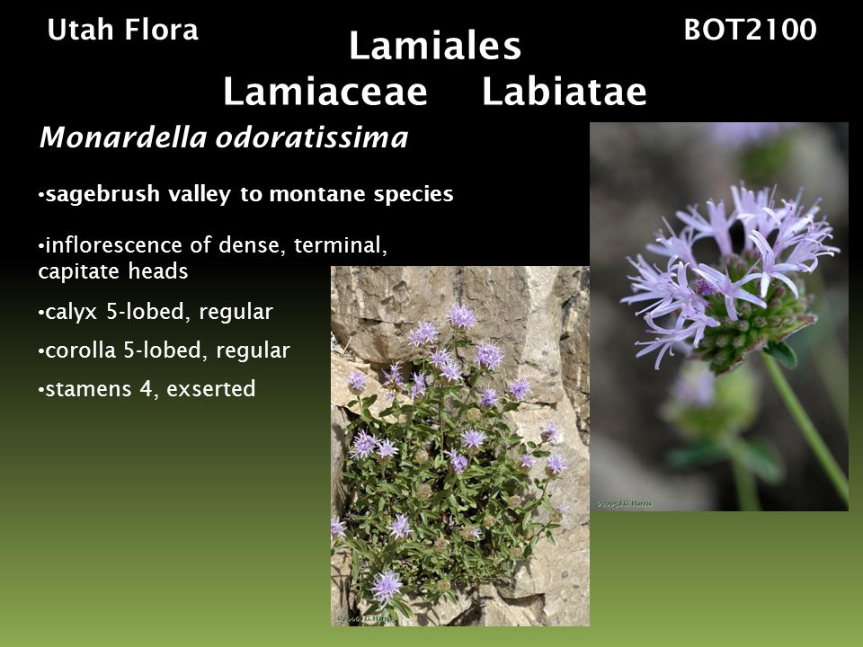 Utah Flora BOT2100 Salvia Worldwide ~470 species Utah (Native and Introduced) 4 species annual, perennial herbs, or shrubs, strongly aromatic leaves opposite, entire or toothed inflorescence of capitate cymes or verticillasters calyx 5-lobed, 2-lipped corolla 5-lobed, 2-lipped stamens 2, sometimes exserted 4, 1 seeded nutlets Lamiales Lamiaceae Labiatae