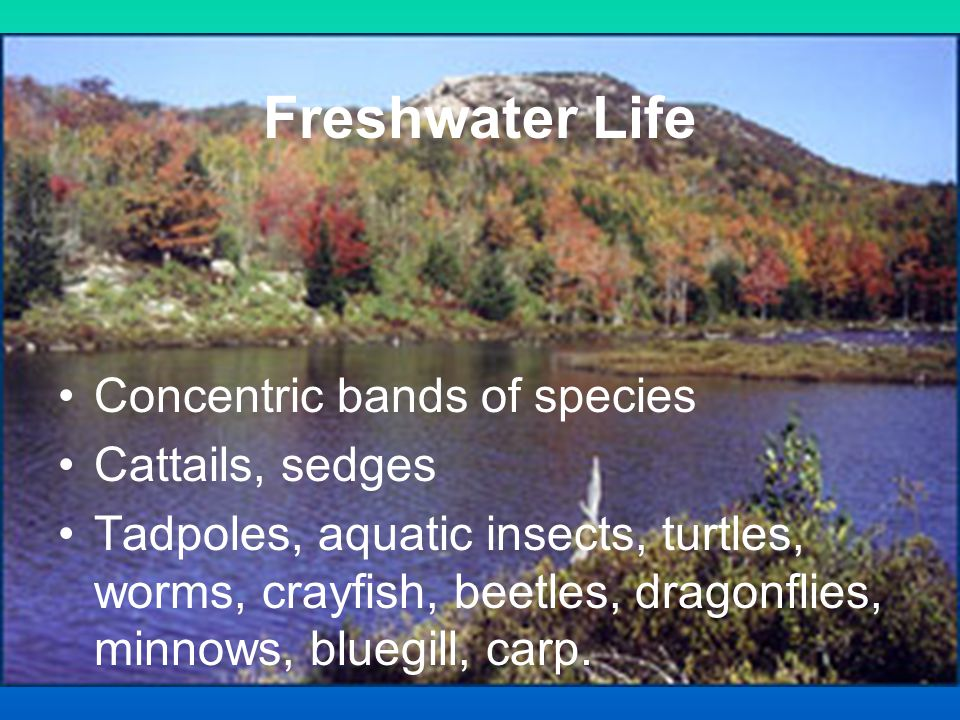 Freshwater Life Concentric bands of species Cattails, sedges Tadpoles, aquatic insects, turtles, worms, crayfish, beetles, dragonflies, minnows, blueg