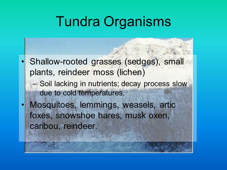 Tundra Organisms Shallow-rooted grasses (sedges), small plants, reindeer moss (lichen) –Soil lacking in nutrients; decay process slow due to cold temp
