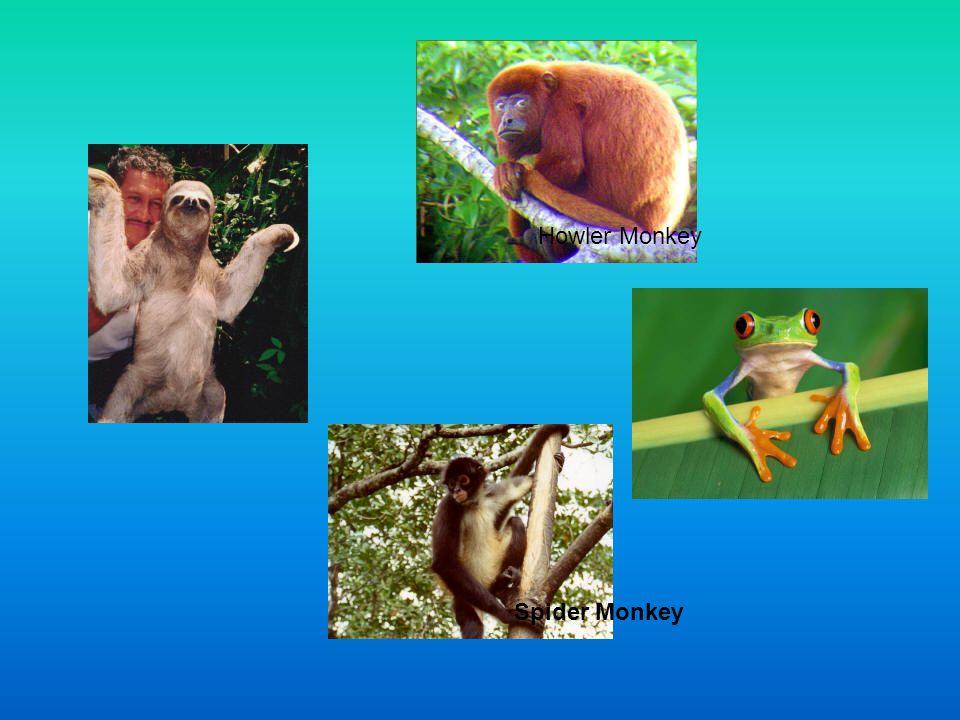 Howler Monkey Spider Monkey