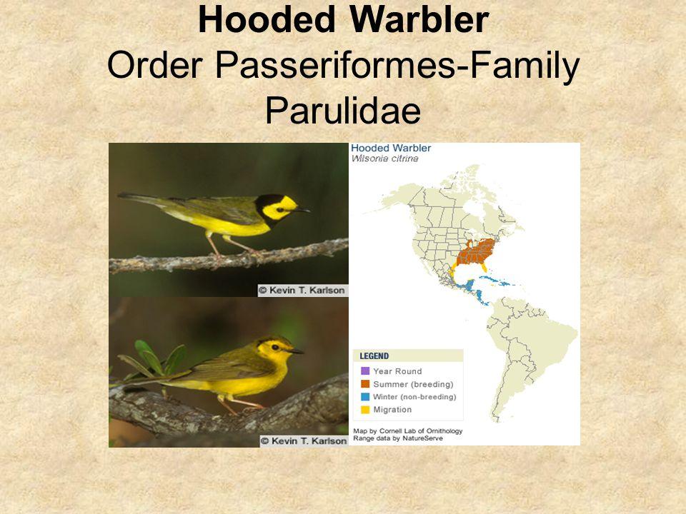 Hooded Warbler Order Passeriformes-Family Parulidae