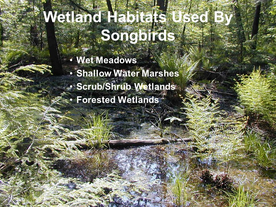 Wetland Habitats Used By Songbirds Wet Meadows Shallow Water Marshes Scrub/Shrub Wetlands Forested Wetlands