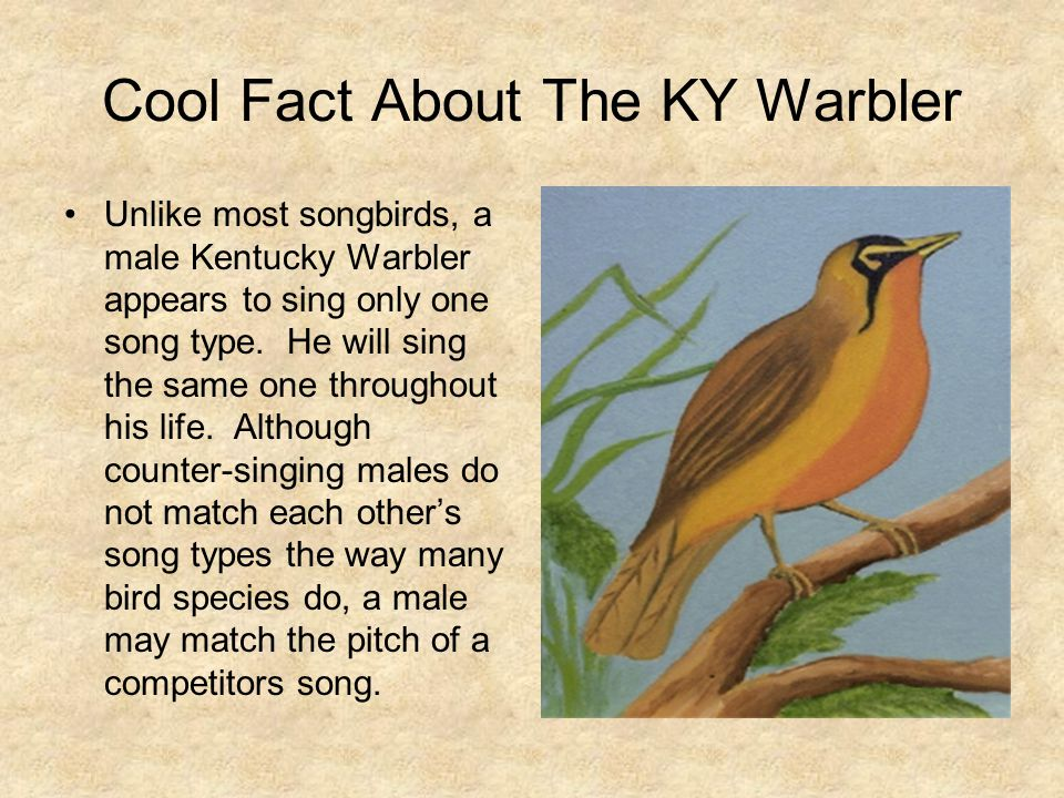 Cool Fact About The KY Warbler Unlike most songbirds, a male Kentucky Warbler appears to sing only one song type. He will sing the same one throughout