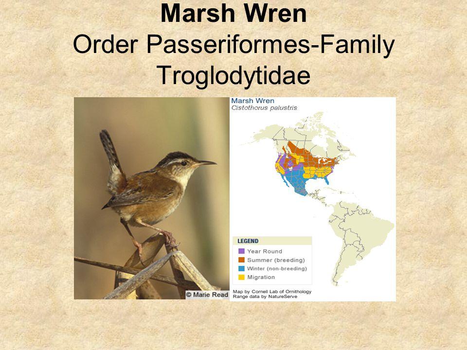 Marsh Wren Order Passeriformes-Family Troglodytidae