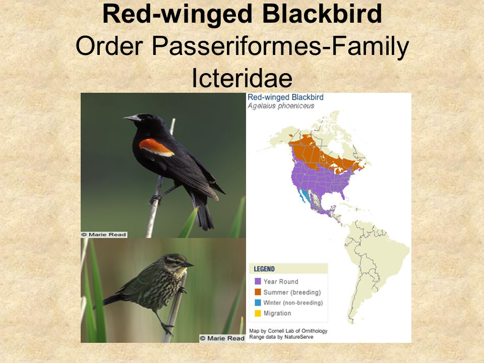 Red-winged Blackbird Order Passeriformes-Family Icteridae
