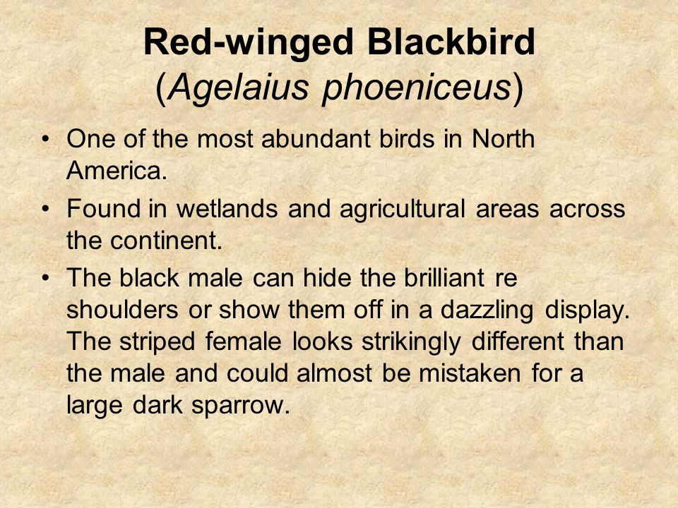 Red-winged Blackbird (Agelaius phoeniceus) One of the most abundant birds in North America.
