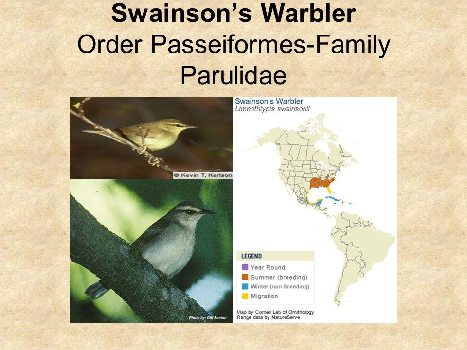 Swainson's Warbler Order Passeiformes-Family Parulidae