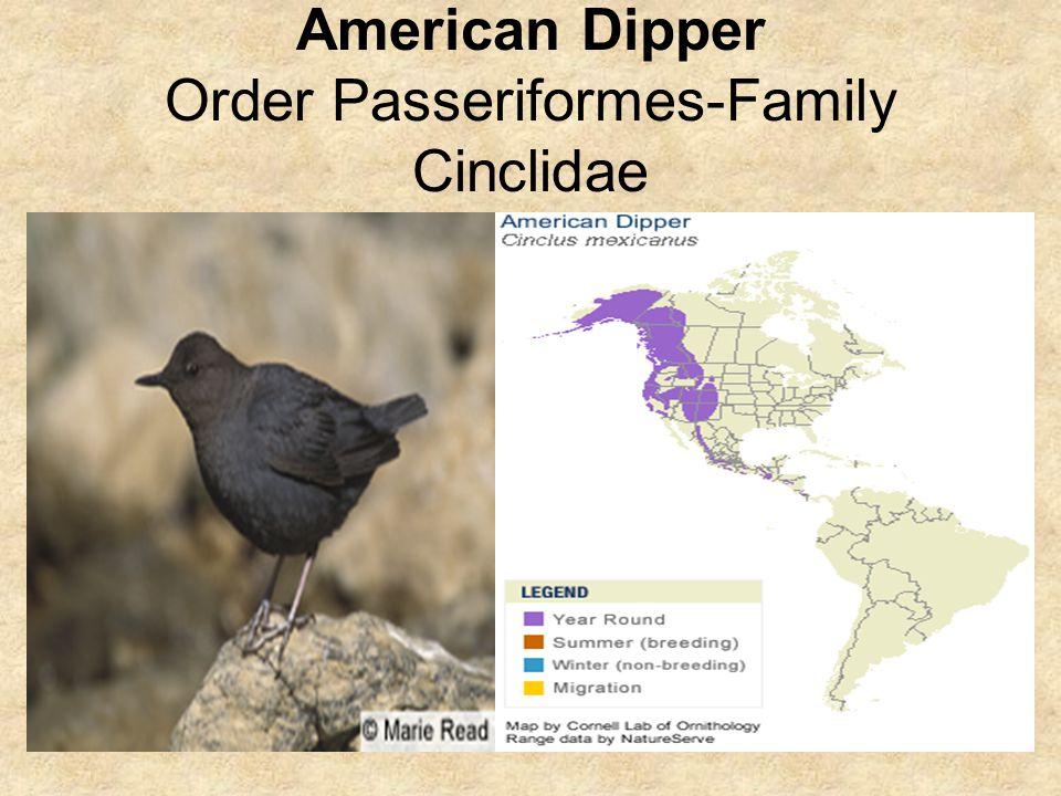American Dipper Order Passeriformes-Family Cinclidae